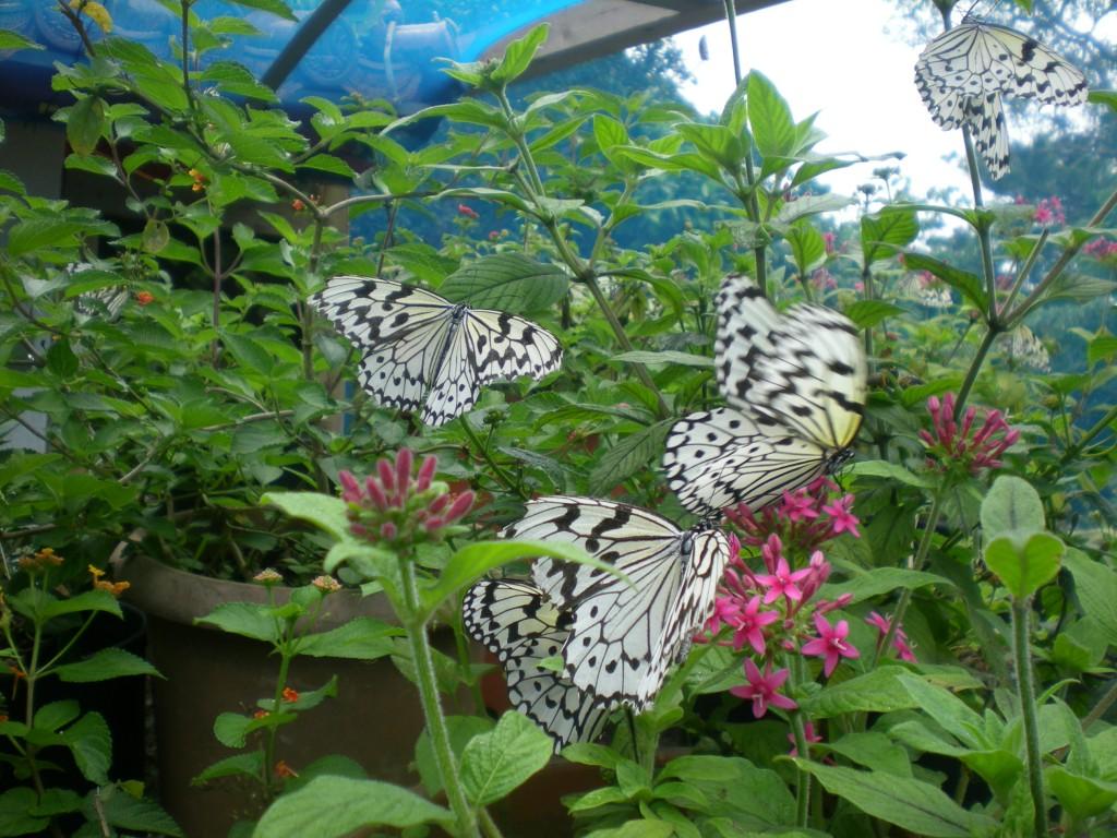 石垣島の蝶「オオゴマタラ」がお出迎え
