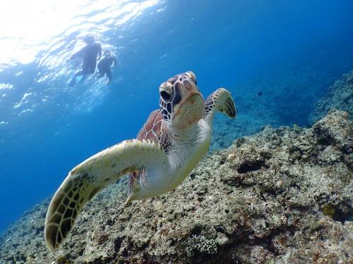 海の人気者「ウミガメ」を見に行こう!